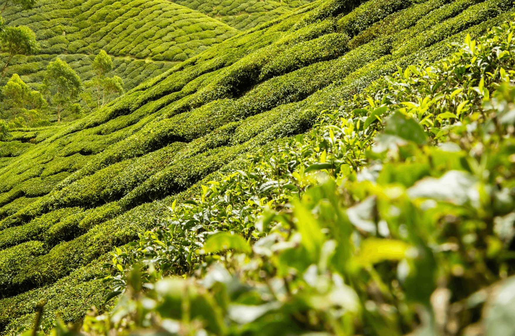In deze theeplantage groeit verse groene thee