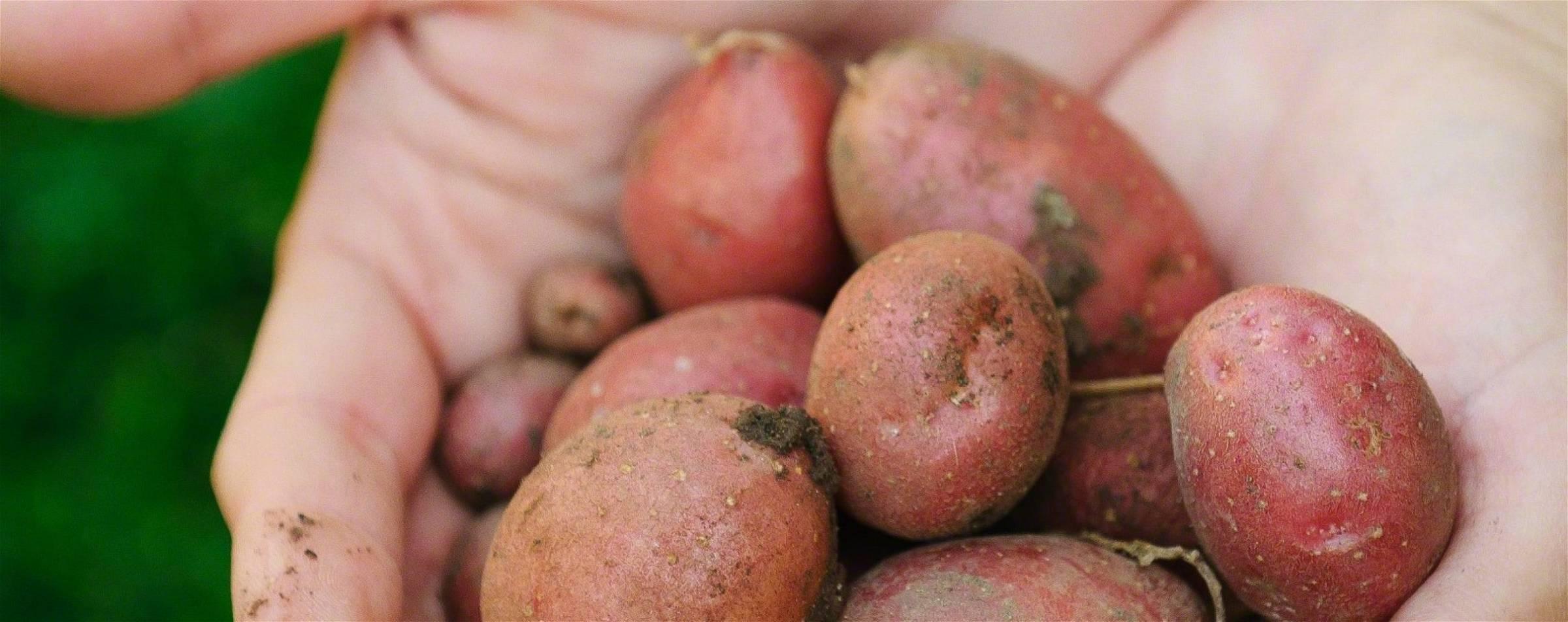 aardappelen in een koolhydraatarm dieet