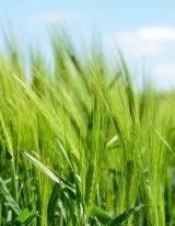 dit groene tarwegras wordt gekweekt voor tarwegraspoeder